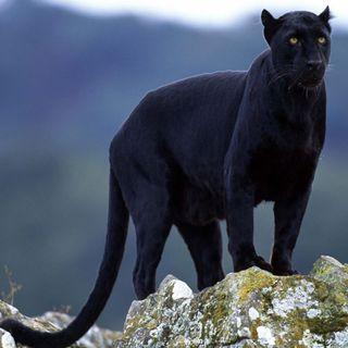 Обои на телефон пантера, черные, леопард, животные, дикие, wild animal, black leopard