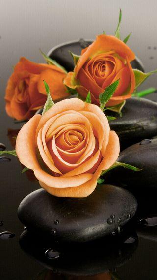 Обои на телефон дзен, черные, розы, природа, оранжевые, любовь, капли воды, камни, love