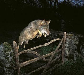 Обои на телефон волк, wolf attacks, ----------------