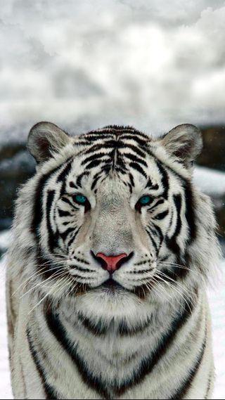 Обои на телефон тигр, животные, белые, blanc