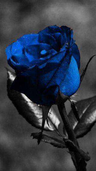 Обои на телефон синие, розы