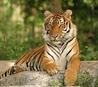 Обои на телефон тигр, кошки, животные, дикие, hd, big