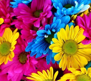 Обои на телефон маргаритка, цветы, красочные, colorful flowers