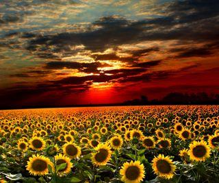 Обои на телефон природа, небо, цветы, закат, солнце, облака, поле, вечер, подсолнухи