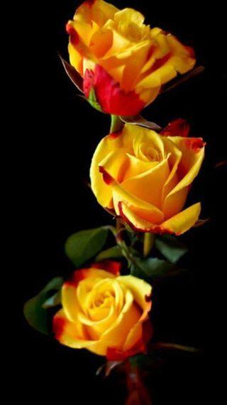 Обои на телефон розы, желтые