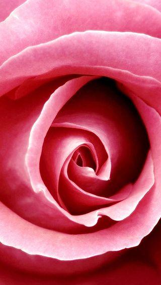 Обои на телефон лепестки, цветы, розы, розовые, любовь, pink rose 2, love