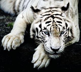 Обои на телефон тигр, черные, лапа, кошки, животные, дикий, белые