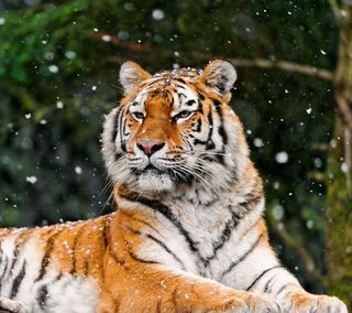 Обои на телефон яркие, хищник, холод, тигр, снег, сезон, природа, охотник, красочные, кошки, животные