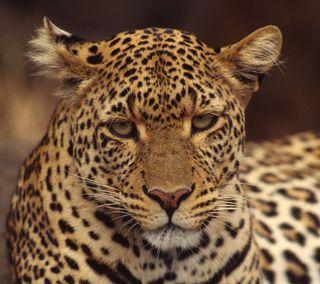 Обои на телефон леопард