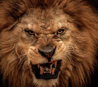 Обои на телефон дикие, лев, король, животные, взгляд