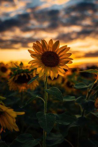 Обои на телефон солнечный свет, цветы, солнце, розы, подсолнухи
