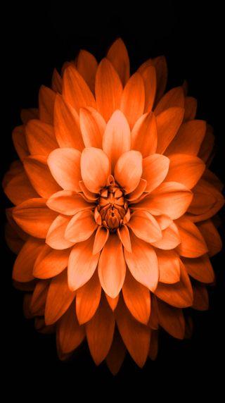 Обои на телефон лотус, цветы, телефон, оранжевые, i phone 6
