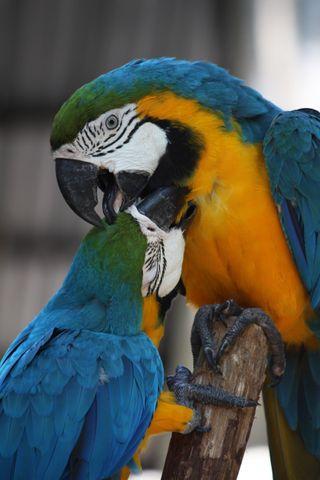 Обои на телефон попугай, птицы, животные, дикие, азия, thailand, 6iancarloa