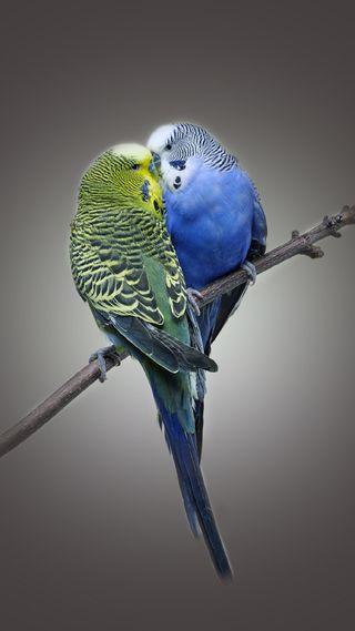 Обои на телефон попугай, птицы, приятные, прекрасные, пара, любовь, love