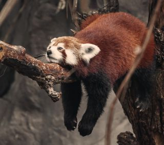 Обои на телефон устал, сон, панда, красые, red panda