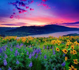 Обои на телефон подсолнухи, цветы, природа, пейзаж, небо, лаванда, закат, flowers at sunset