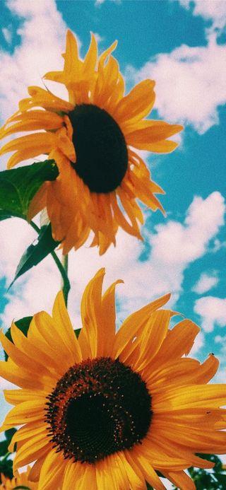 Обои на телефон подсолнухи, цветы, синие, природа, облака, небо, лето, желтые