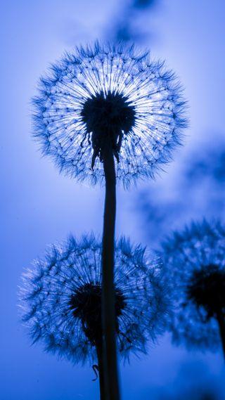 Обои на телефон макро, цветы, природа, dandelions