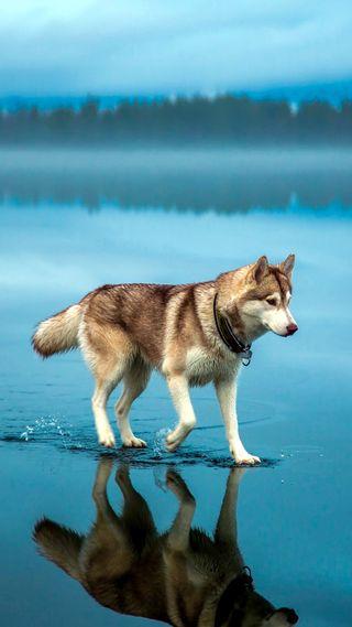 Обои на телефон хаски, собаки, пейзаж, волк, loup