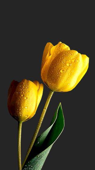 Обои на телефон тюльпаны, цветы
