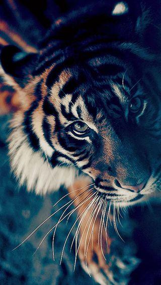Обои на телефон полосы, тигр, claw