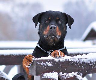 Обои на телефон собаки, милые, rottweiler