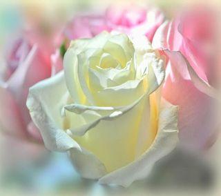 Обои на телефон элегантные, розы, elegant  roses