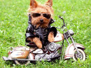 Обои на телефон байкер, собаки, милые, животные, другие, biker dog