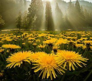 Обои на телефон восход, цветы, утро, самсунг, природа, поле, пейзаж, одуванчик, samsung, s4, morning glory