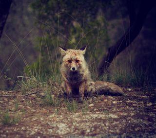 Обои на телефон лиса, лес, грустные