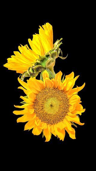 Обои на телефон подсолнухи, цветы, желтые