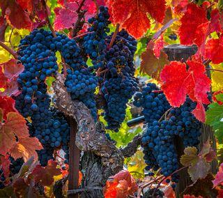 Обои на телефон фрукты, еда, листья, дерево, виноград