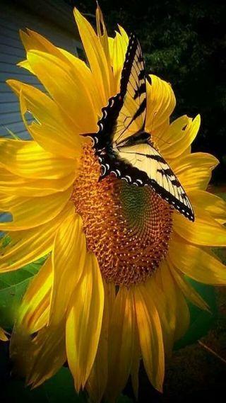 Обои на телефон подсолнухи, бабочки