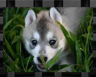 Обои на телефон тема, волк, hiding wolf