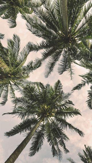 Обои на телефон пальмы, тропические, деревья