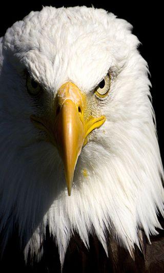 Обои на телефон орел, животные