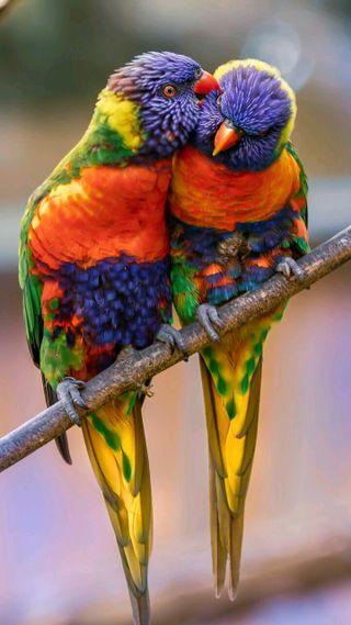 Обои на телефон попугаи, любовь, love