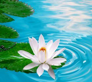 Обои на телефон лотус, цветы, лилия, вода, water lily