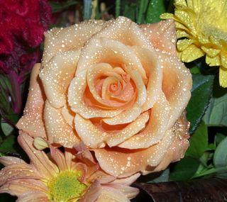 Обои на телефон маргаритка, цветы, свет, розы, оранжевые, красые, желтые, light orange rose