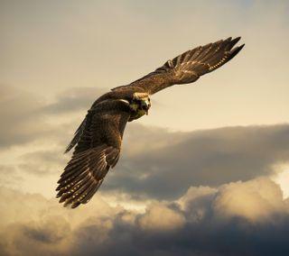 Обои на телефон сокол, птицы, орел, летать, животные
