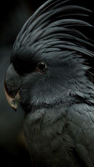 Обои на телефон попугай, черные