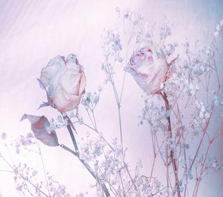 Обои на телефон мягкие, розы