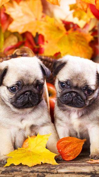 Обои на телефон питомцы, собаки, осень, листья, doggy