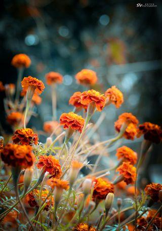 Обои на телефон цветы, фотография, sv photography, shivu