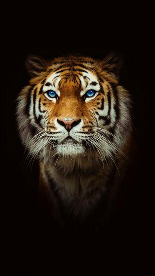 Обои на телефон тигр, взгляд, черные