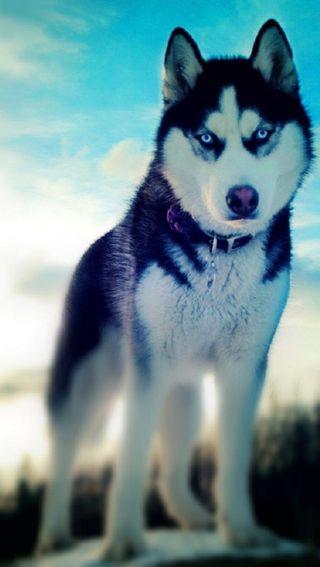 Обои на телефон питомцы, животные, волк, mascota