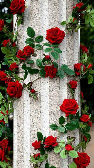 Обои на телефон цветы, розы, любовь, красые, love