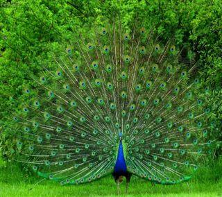 Обои на телефон природа, животные, птицы, павлин