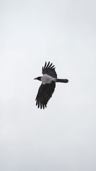 Обои на телефон чистые, птицы, простые, полет, перья, крылья, животные, ворона
