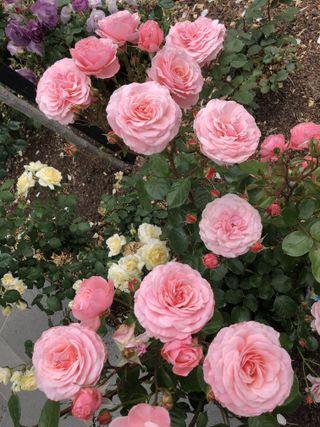 Обои на телефон сад, цветы, розы, розовые